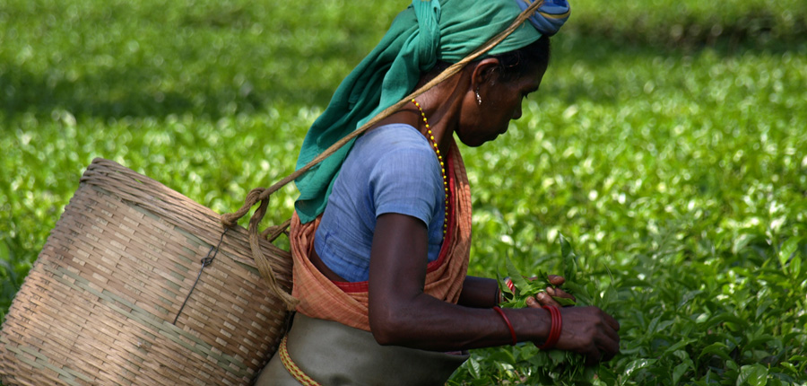 Tea planting